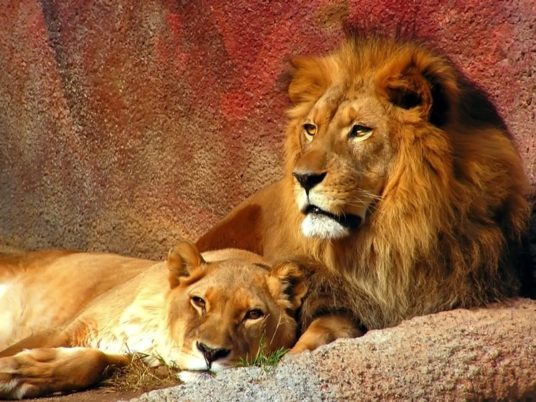 resting_lion__lioness-normal