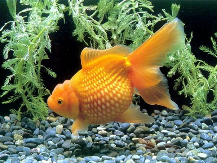 1 chinese-goldfish_00149560