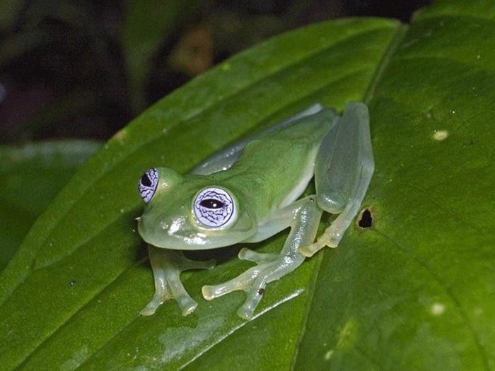 14Glass Frog