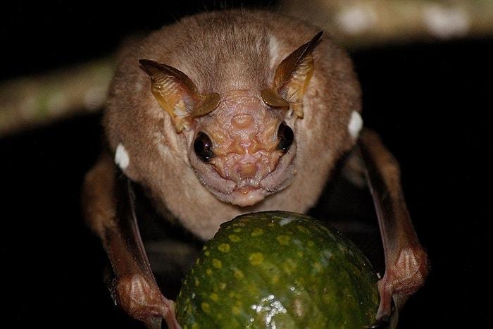 17Wrinkle-Faced Bat