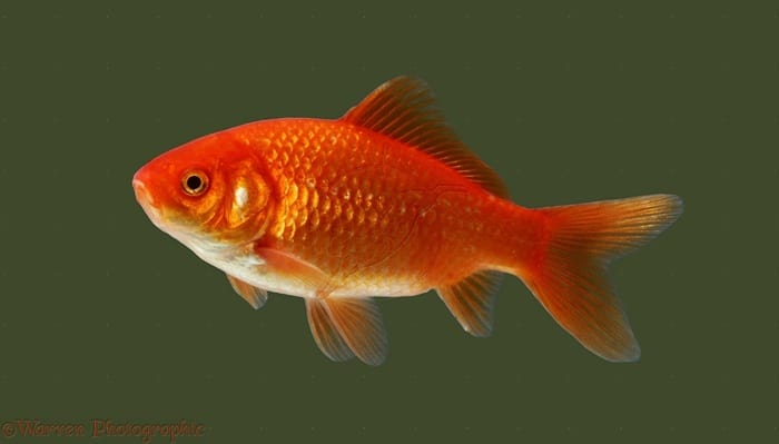 10 best freshwater aquarium fishes for beginners for What fish can live with goldfish