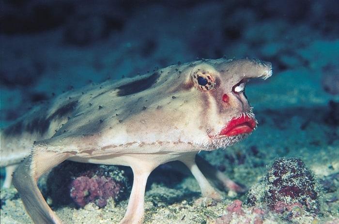 21Rosey Lipped Batfish