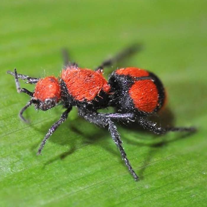 3Red Velvet Ant