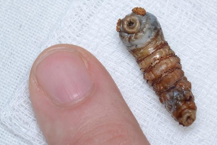 Human Botfly