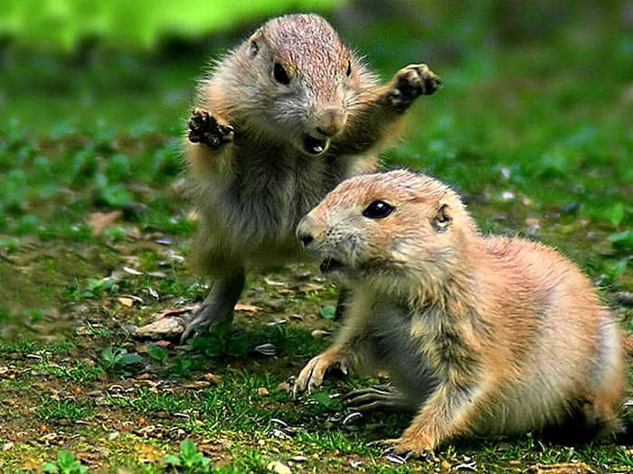 arborpest rodent