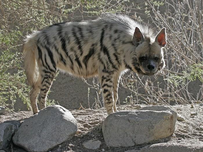 hyaenidae.org 12