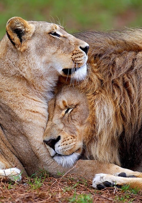 lion and lioness (13)