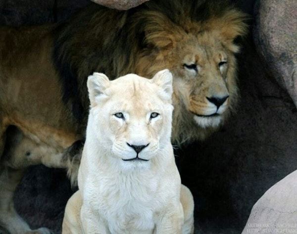 lion and lioness (14)