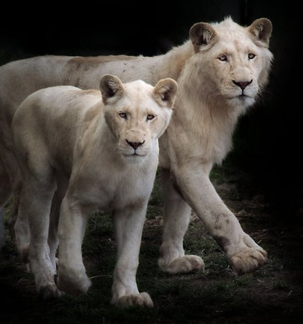 lion and lioness (15)