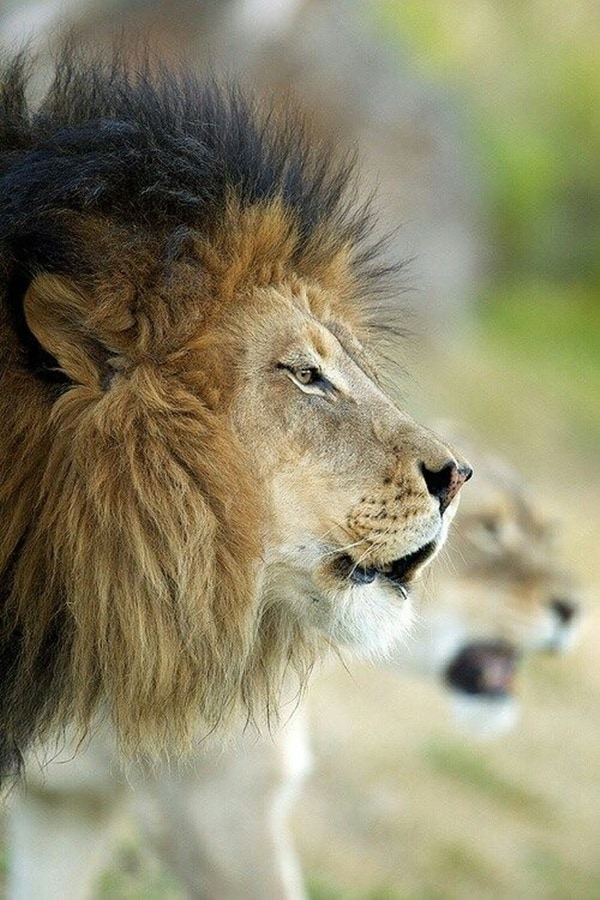 lion and lioness (16)