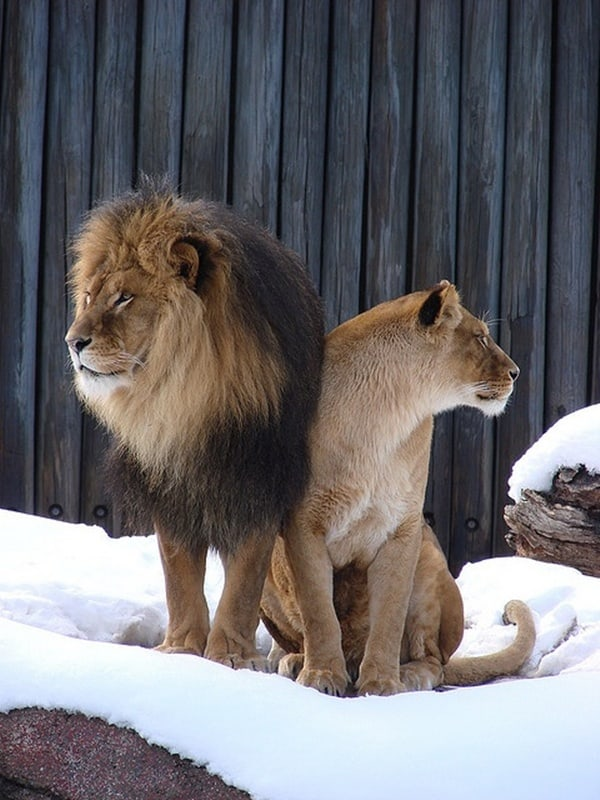 lion and lioness (17)
