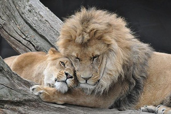 lion and lioness (1)