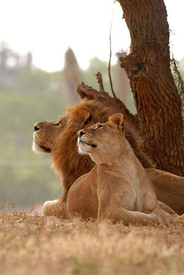 lion and lioness (2)