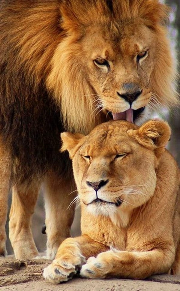lion and lioness (5)
