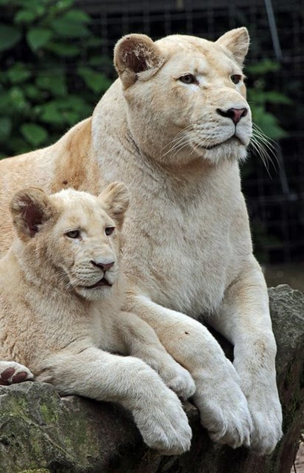 lion and lioness (7)