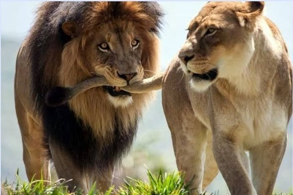lion and lioness (8)