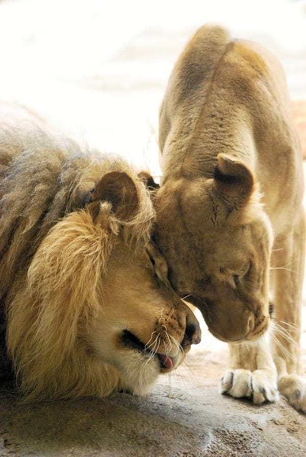 lion and lioness (9)