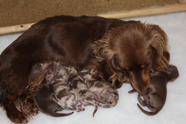 Days Pregnant Dog