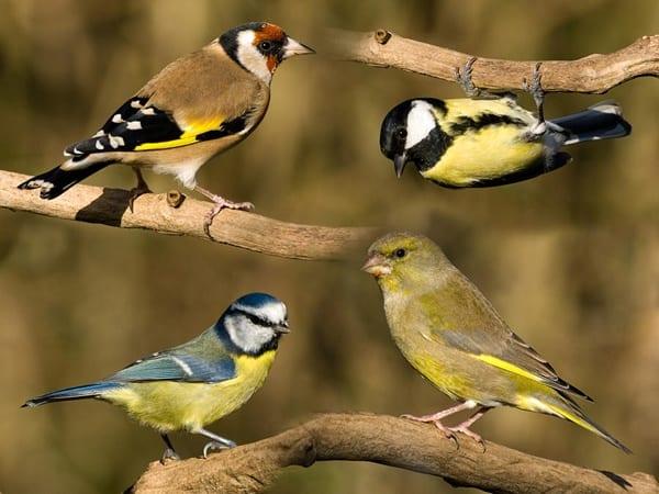 british-garden-birds-steev-stamford