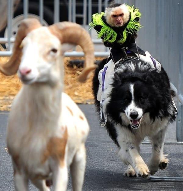 Animals riding animals (29)