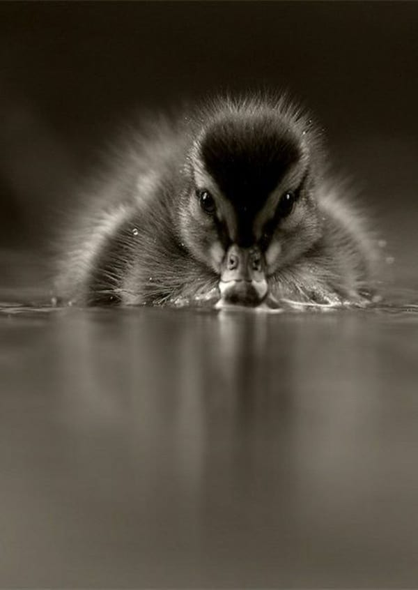 Cute Baby Duck pictures