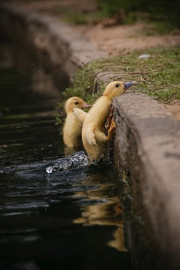 Cute Duck (1)