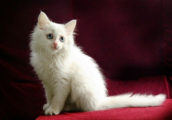 cats breeds (12)