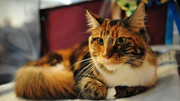 cats breeds (15)