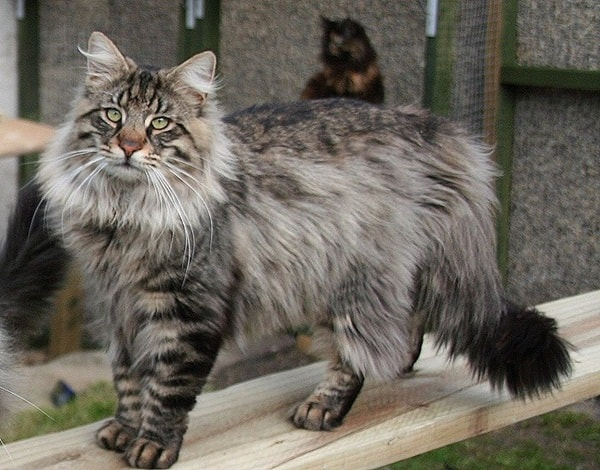 cats breeds (4)