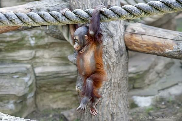 Walking on air of an orangutan baby