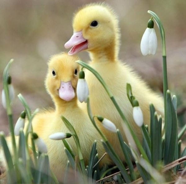 cute duck pictures (14)