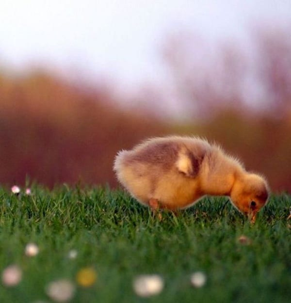 cute duck pictures (17)