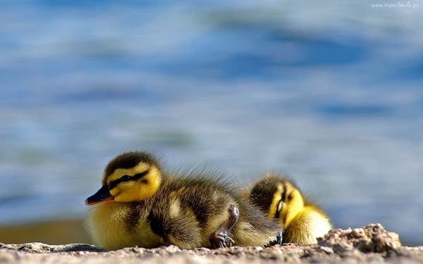 cute duck pictures (18)