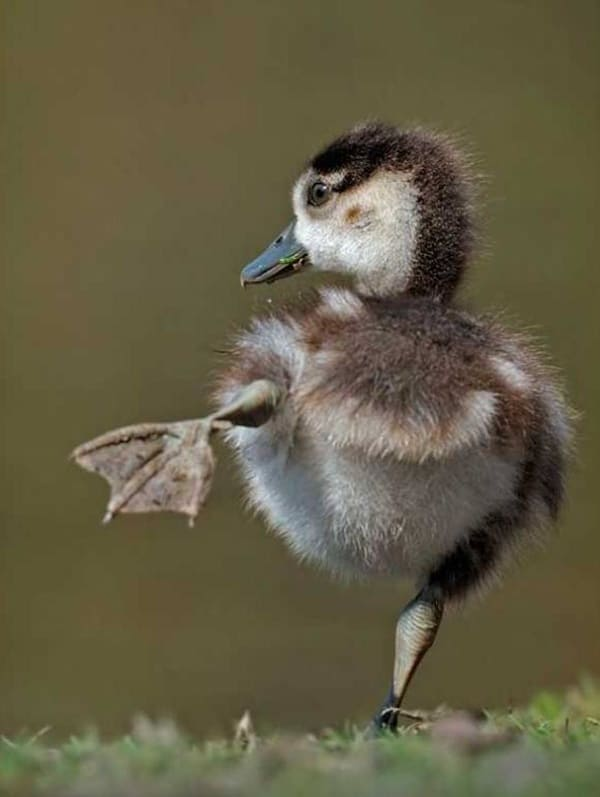 cute duck pictures (19)