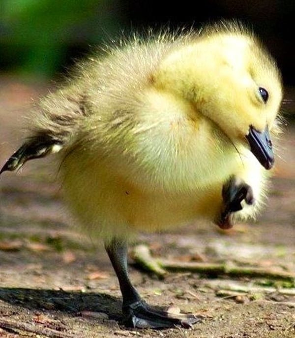cute duck pictures (20)