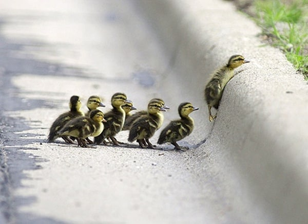 cute duck pictures (22)