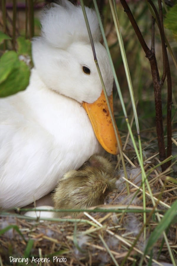 cute duck pictures (29)