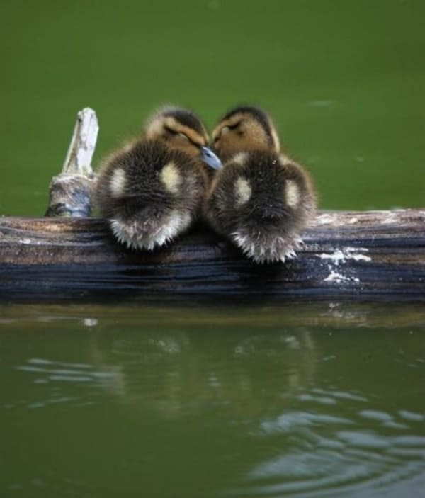 cute duck pictures (3)