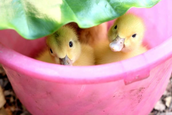 cute duck pictures (33)
