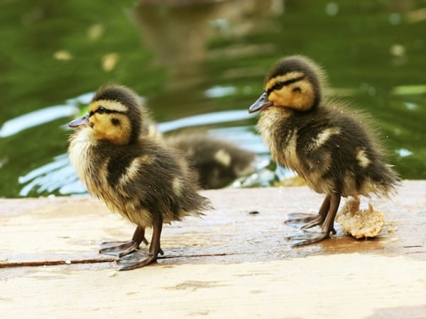 cute duck pictures (40)