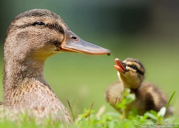 cute duck pictures (41)
