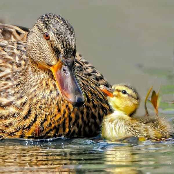 cute duck pictures (7)