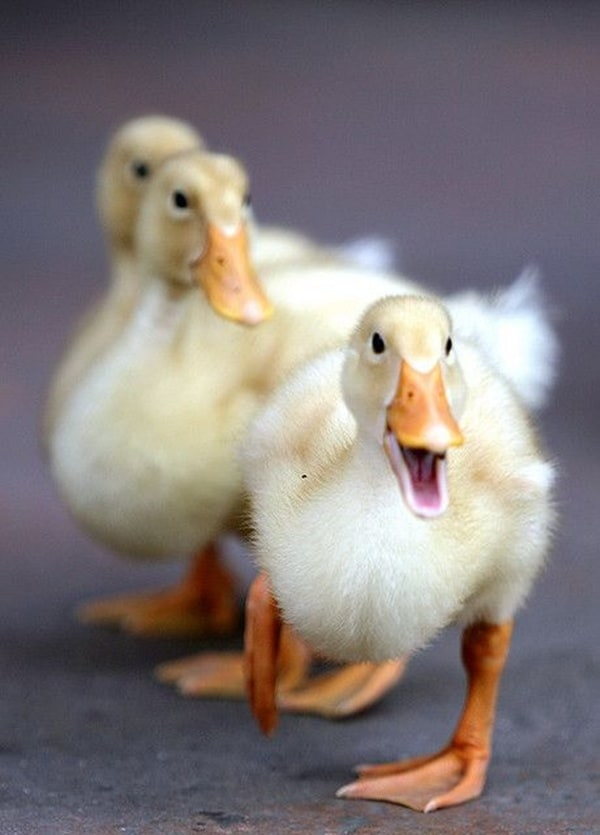 cute duck pictures (9)