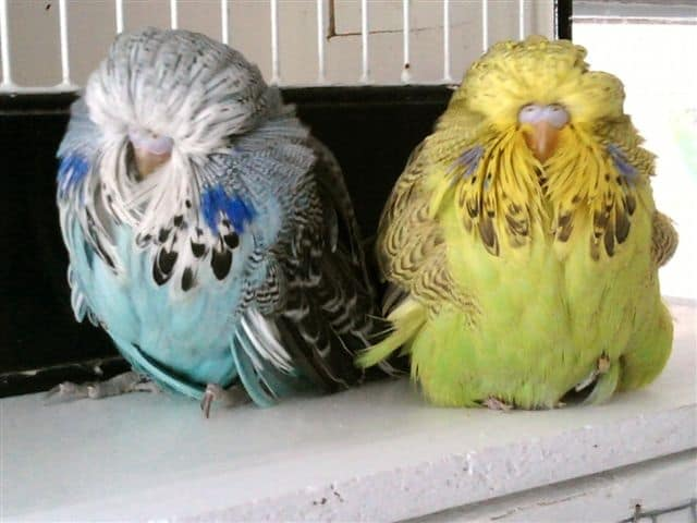 officialbarrieshuttbudgerigars.com