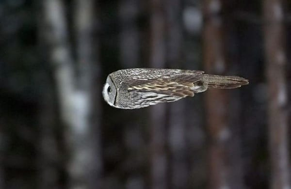 owl pictures (10)