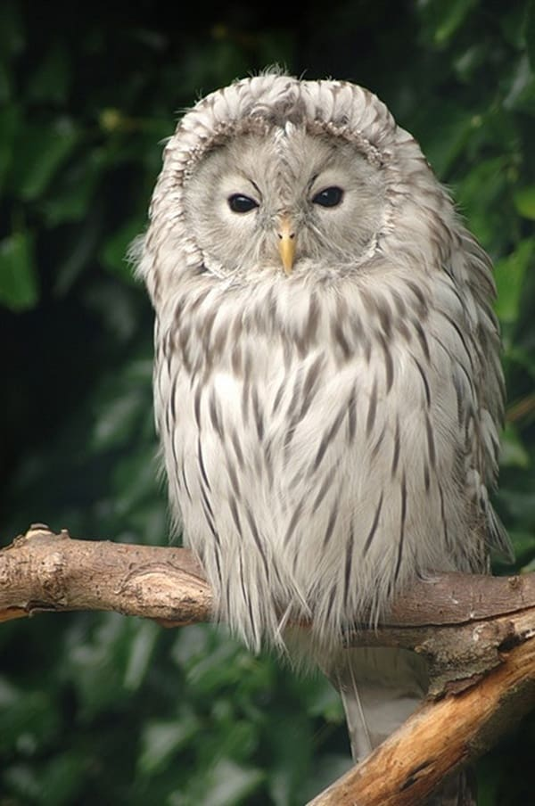 owl pictures (11)