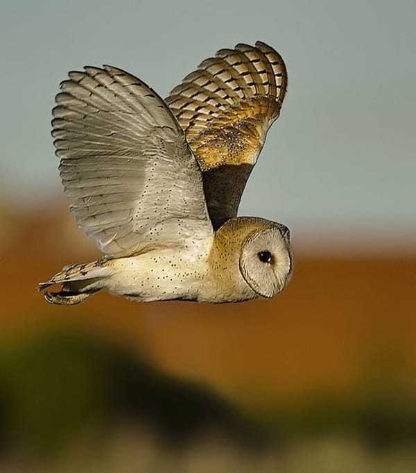 owl pictures (12)