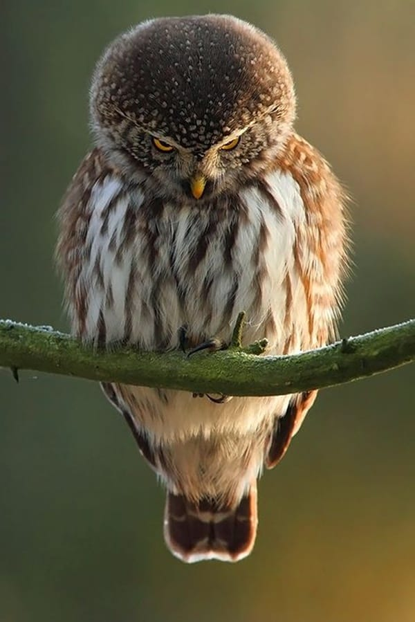 owl pictures (13)