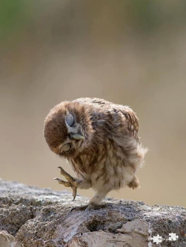 owl pictures (14)