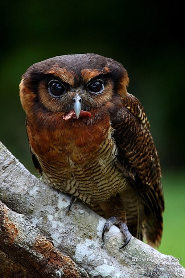 owl pictures (15)